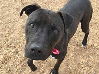 American Pit Bull Terrier Mix Dog for adoption in Albuquerque, New Mexico - BRUNO