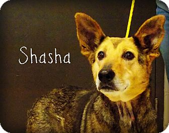 Shepherd (Unknown Type) Mix Dog for adoption in Defiance, Ohio - Shasha