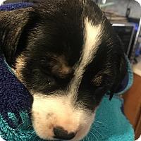 Adopt A Pet :: Chase - Savannah, GA