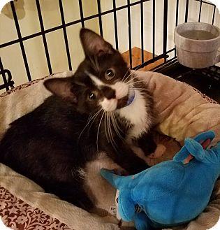 Domestic Shorthair Kitten for adoption in Geneseo, Illinois - Jimbo