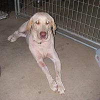 Adopt A Pet :: Macy - Buchanan Dam, TX