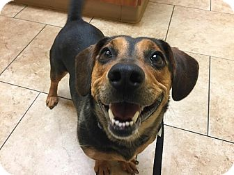 Jack Russell Terrier/Basset Hound Mix Dog for adoption in Tioga, Pennsylvania - Joanie