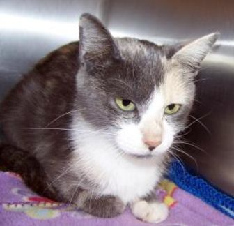 Domestic Shorthair/Domestic Shorthair Mix Cat for adoption in Westville, Indiana - Yaya