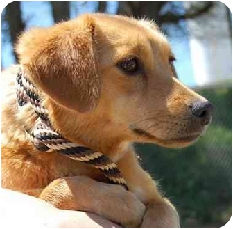 Golden Retriever/Tibetan Spaniel Mix Dog for adoption in Inman, South Carolina - Cindy