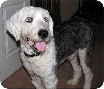 Old English Sheepdog Dog for adoption in Lincoln, Massachusetts - Bruce