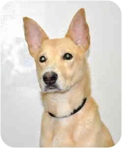 Shepherd (Unknown Type) Mix Dog for adoption in Port Washington, New York - Nike