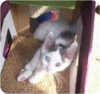 Domestic Shorthair Cat for adoption in St. Louis, Missouri - Tinsel