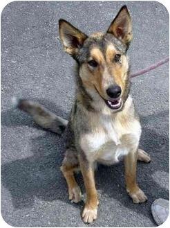 Collie/Shepherd (Unknown Type) Mix Dog for adoption in Hayden, Idaho - Ari