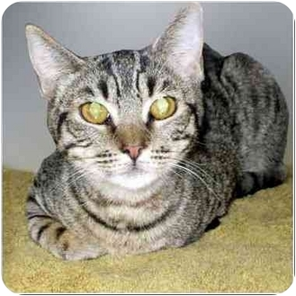 Domestic Shorthair Cat for adoption in San Clemente, California - ABBY