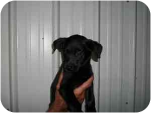 Labrador Retriever Mix Puppy for adoption in Rochester, New Hampshire - Rio