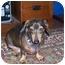 Photo 1 - Dachshund Dog for adoption in Jacobus, Pennsylvania - Bogey - NJ