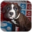 Photo 1 - Boxer Mix Puppy for adoption in Westminster, Colorado - Brooklyn