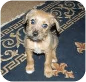 Terrier (Unknown Type, Small)/Chihuahua Mix Puppy for adoption in Foster, Rhode Island - Tamale