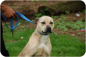 American Bulldog/American Pit Bull Terrier Mix Dog for adoption in Plainfield, New Jersey - Pupa