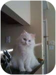 Persian Cat for adoption in Tampa, Florida - Lacie