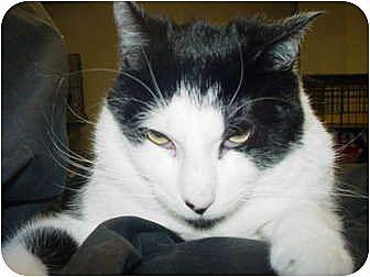 Domestic Shorthair Cat for adoption in Watkinsville, Georgia - George