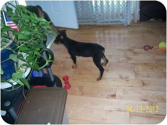 Doberman Pinscher Mix Puppy for adoption in Clarksville, Tennessee - Molly