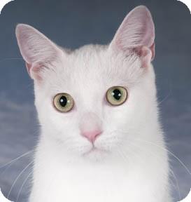 Domestic Shorthair Cat for adoption in Chicago, Illinois - Prometheus