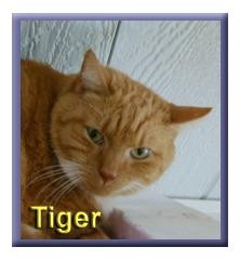 Domestic Shorthair Cat for adoption in Aldie, Virginia - Tiger