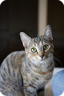 Domestic Shorthair Cat for adoption in los Angeles, California - Hera and ChinChin