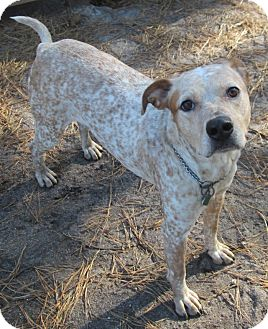 Catahoula Leopard Dog Mix Dog for adoption in Forked River, New Jersey - Daisy