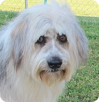 Bearded Collie/Old English Sheepdog Mix Dog for adoption in Spring Valley, New York - Quincey