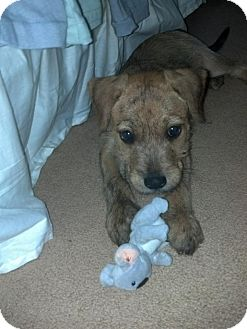 Terrier (Unknown Type, Small) Mix Puppy for adoption in North Brunswick, New Jersey - Sprite