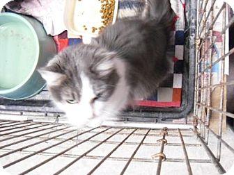 Domestic Longhair Cat for adoption in Alden, Iowa - Bandito