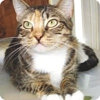 Domestic Shorthair Cat for adoption in Miami, Florida - Penelope