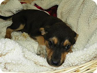Hound (Unknown Type) Mix Puppy for adoption in Waldorf, Maryland - Hamlet