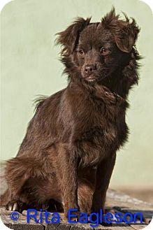 Pomeranian/Chihuahua Mix Puppy for adoption in Phoenix, Arizona - Gidget