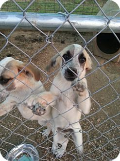 Bluetick Coonhound/Great Pyrenees Mix Puppy for adoption in Springfield, Missouri - Jessup