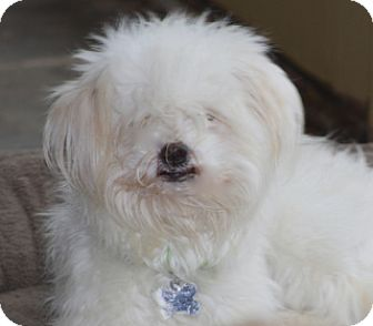 Maltese/Poodle (Miniature) Mix Dog for adoption in Woonsocket, Rhode Island - Tia Maria