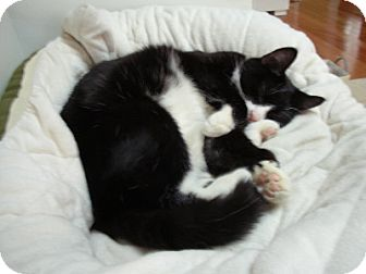 Domestic Shorthair Cat for adoption in Alexandria, Virginia - Bandit