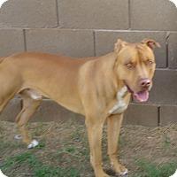 Adopt A Pet :: Kratos. COURTESY POST - Phoenix, AZ