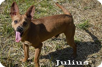 Terrier (Unknown Type, Small) Mix Dog for adoption in Texarkana, Arkansas - Julius
