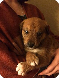 Shepherd (Unknown Type) Mix Puppy for adoption in Olive Branch, Mississippi - Southaven Pup#6-Brody-Boy!
