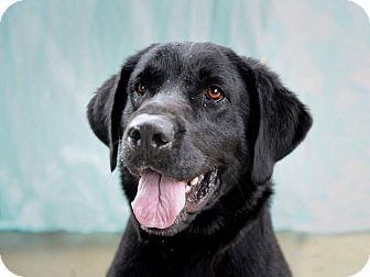 Labrador Retriever Dog for adoption in Staunton, Virginia - Louie