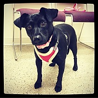 Schnauzer (Miniature)/Labrador Retriever Mix Dog for adoption in Grand Bay, Alabama - Pagan