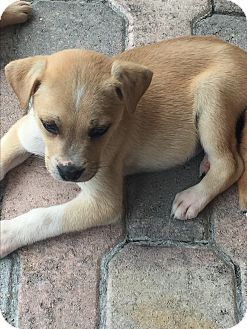Labrador Retriever/Labrador Retriever Mix Puppy for adoption in Boca Raton, Florida - Bochi