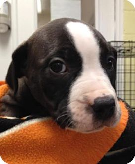 American Pit Bull Terrier/Hound (Unknown Type) Mix Puppy for adoption in Reisterstown, Maryland - Liberty