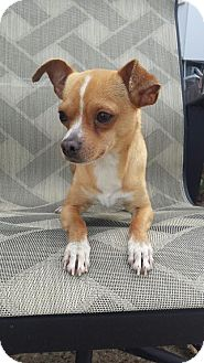 Chihuahua Mix Dog for adoption in Saddle Brook, New Jersey - ALBIE