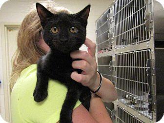 Domestic Shorthair Kitten for adoption in Windsor, Virginia - Wilson