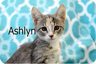 Domestic Mediumhair Kitten for adoption in Wichita Falls, Texas - Ashlyn