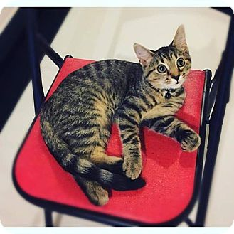 Domestic Shorthair Cat for adoption in Xenia, Ohio - Biscuit