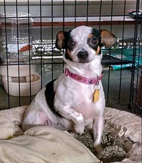 Chihuahua Mix Dog for adoption in Cat Spring, Texas - Betty