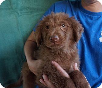 Labrador Retriever/Golden Retriever Mix Puppy for adoption in Oviedo, Florida - Max