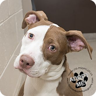 Pit Bull Terrier Mix Dog for adoption in Troy, Ohio - Lilly