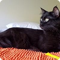 Adopt A Pet :: Bat - Novato, CA