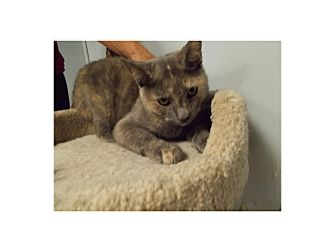 Domestic Shorthair Cat for adoption in Floral City, Florida - Lara
